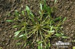Water mudwort