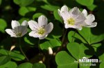 Wood Sorrel, Shamrock