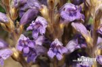 Wormwood Broomrape