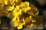 Yellow Alyssum