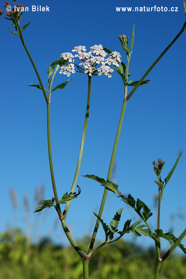 Upright Hedge Parsley (Torilis japonica)