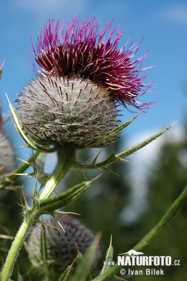 Woolly thistle