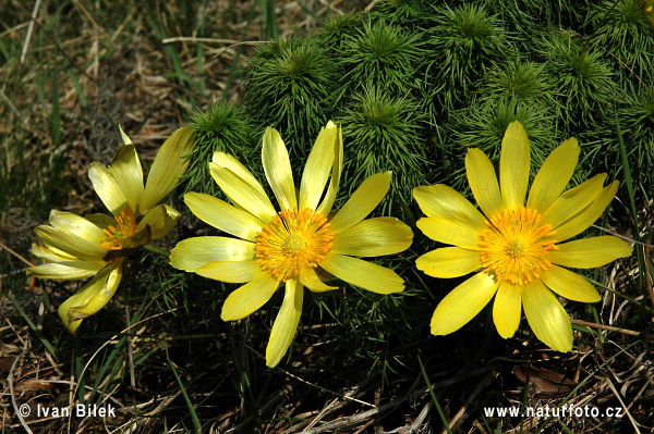 Yellow Pheasant's-eye (Adonis vernalis)