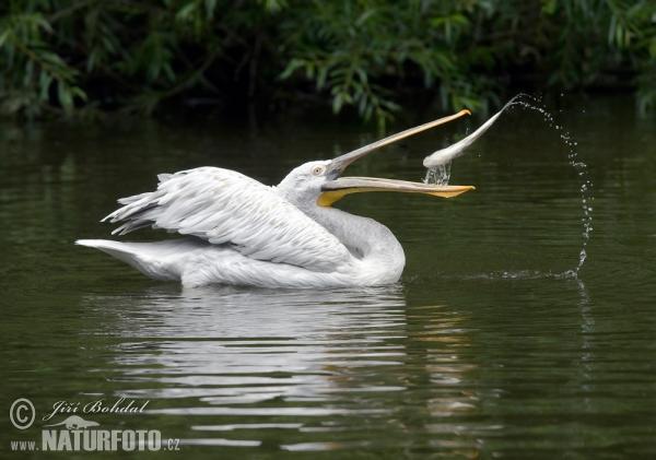 Dalmatian pelican б4b1йра бірқазан