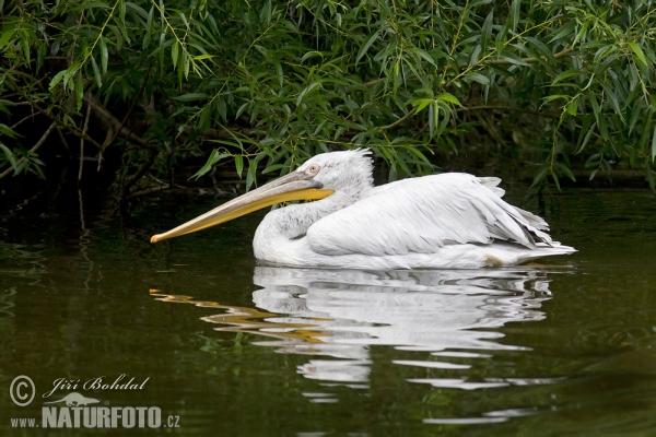 Кудрявый пеликан б4b1йра бірқазан
