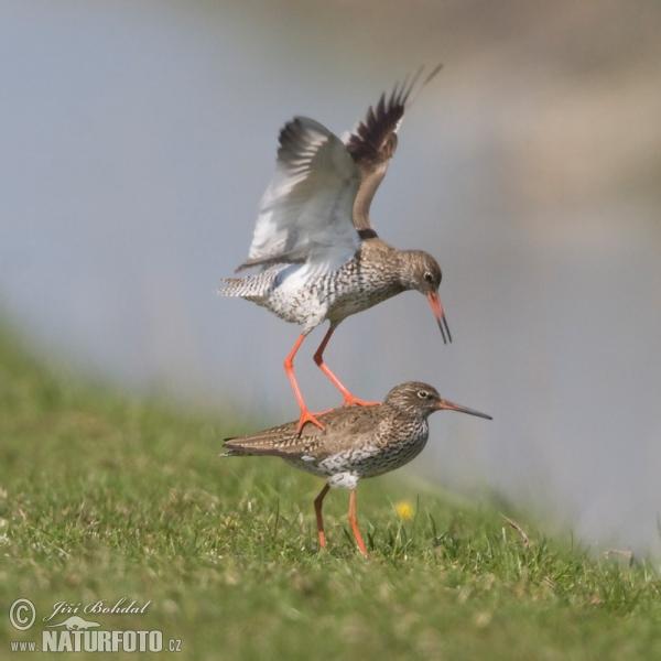 птица травник фото