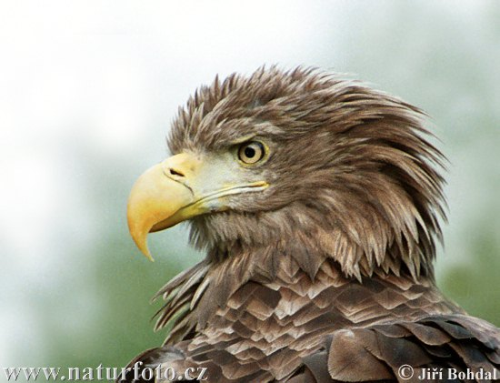 عکس عقاب سفید