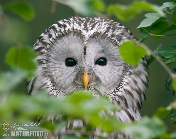 フクロウの画像 p1_26