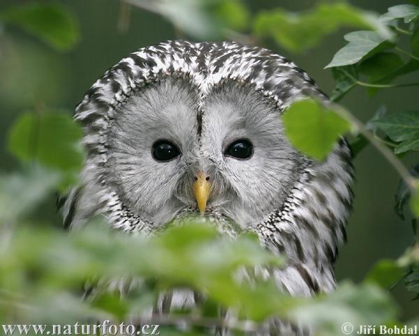 フクロウの画像 p1_36