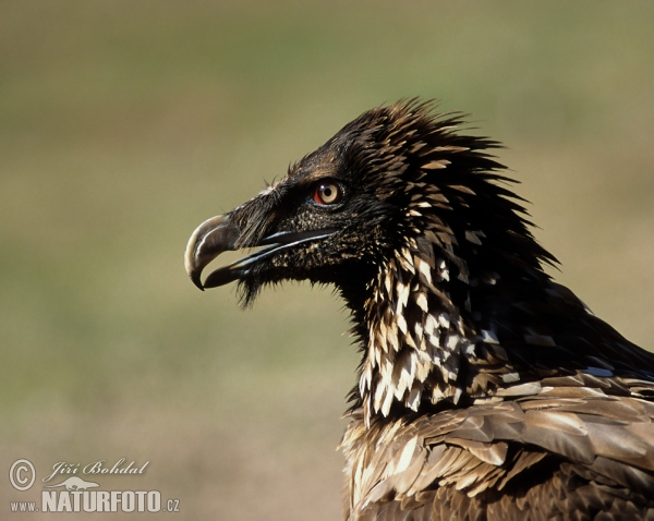 Bearded Vulture (Gypaetus