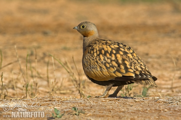 Black-bellied Sandgrouse (Pterocles orientalis)