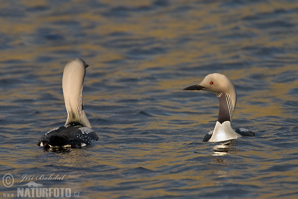 Black-throated Diver (Gavia arctica)