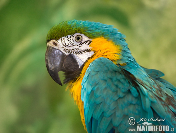 Yellow And Blue Macaws For Sale 19