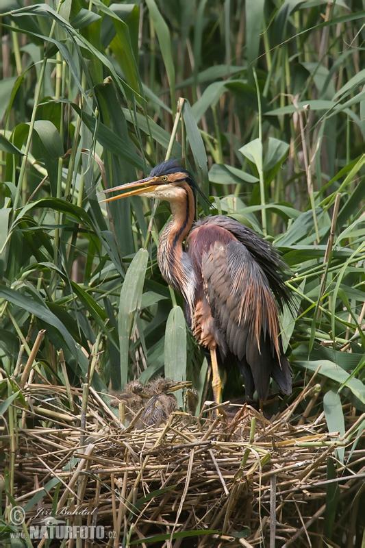 Burung Bangau Paya Foto Gambar