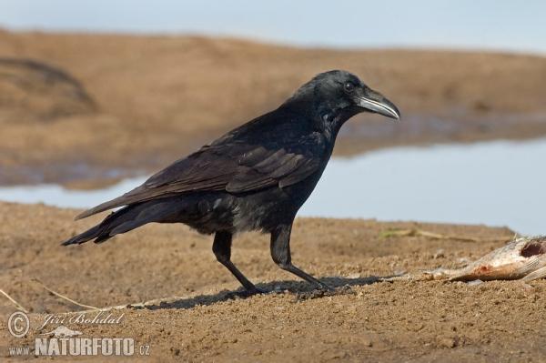Burung Gagak Bangkai Foto Gambar