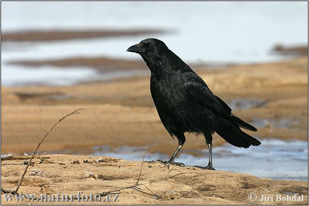 Carrion Crow Photos, Carrion Crow Images | Photobank NaturePhoto-