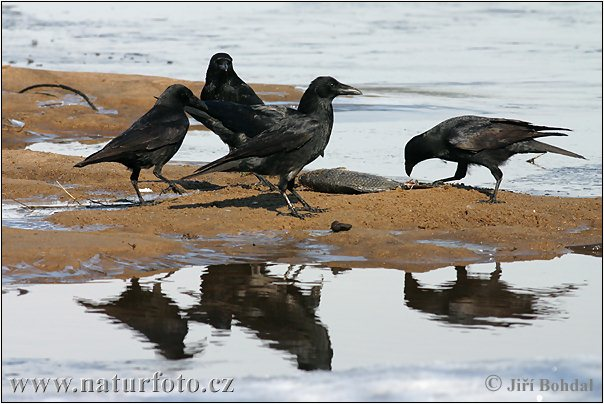 Carrion Crow (Corvus corone corone)