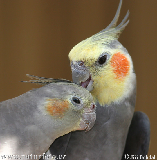 http://www.naturephoto-cz.com/photos/birds/cockatiel-30498.jpg