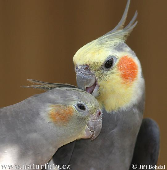 بعض انواع الطيور cockatiel-30498.jpg