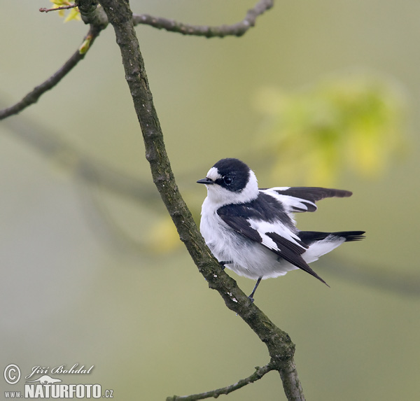 Collared Flycatcher (Ficedula albicollis)