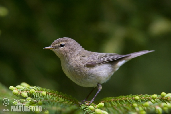 Common Chiffch