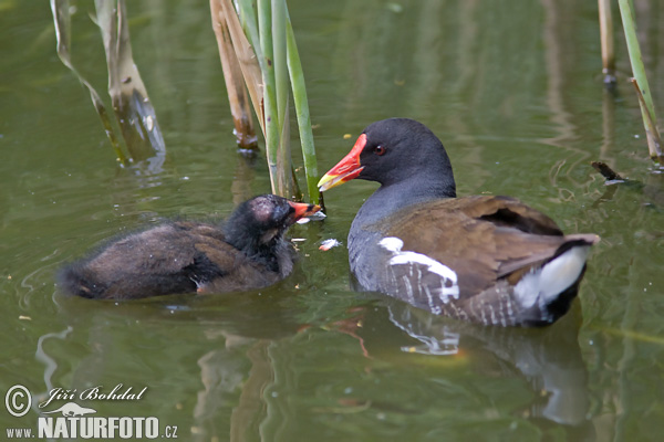 Common Gallinule (Gallinula chloropus)