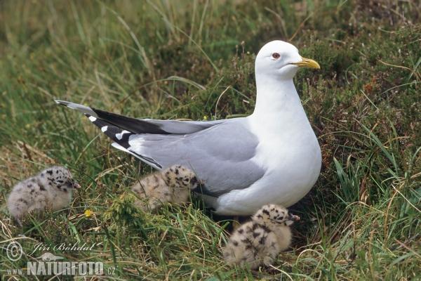 طائر النورس common-gull-864.jpg