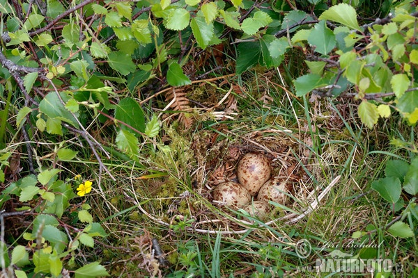 Common Sandpiper - Nest (Actitis hypoleucos)