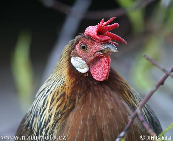 Domestic Fowl (Gallus domesticus)