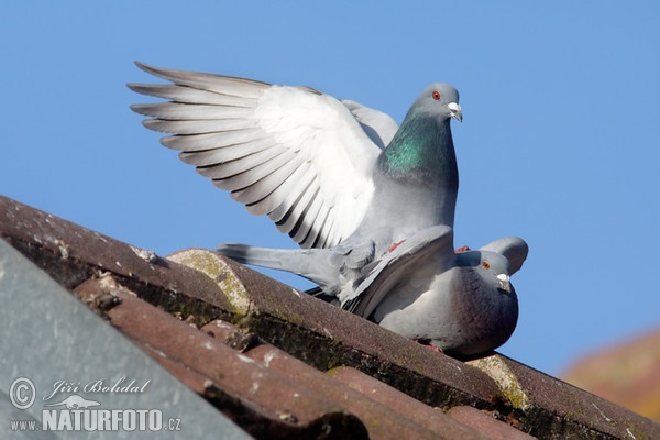 Domestic Pigeon (Columba livia f. domestica)