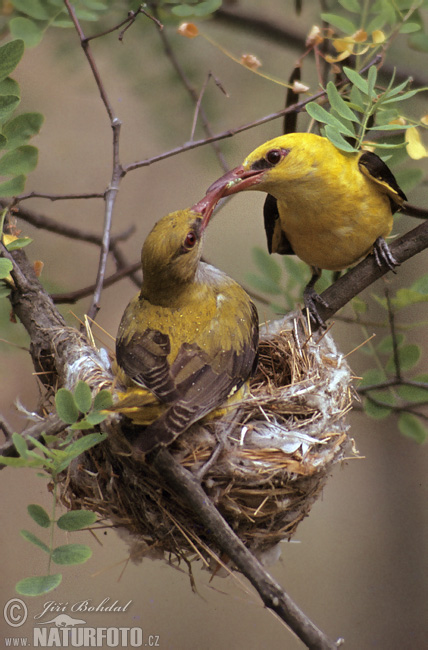 Golden Oriole Stock Photos & Images - Wildlife and Nature Photo Gallery...