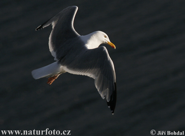 Great Blackback (Larus marinus)