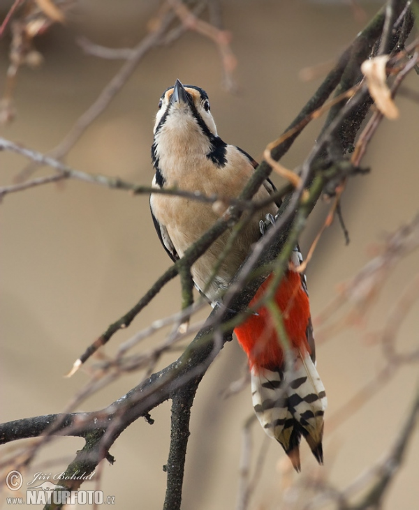 Great Spotted Woodpecker (Dendrocopos major)