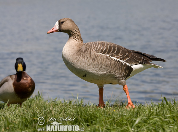 Greated White-fronted Goose (Anser albifrons)