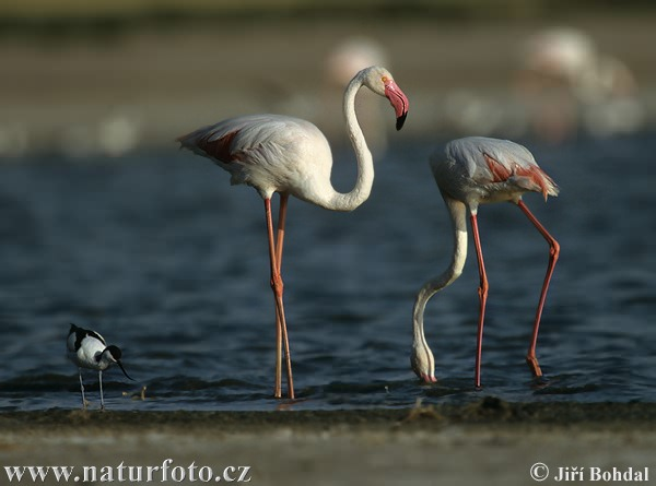 Greater Flamingo (Phoenicopterus ruber)