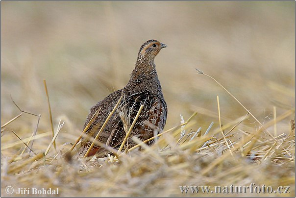 Grey Partridge Photos, Grey Partridge Images | Photobank NaturePhoto-