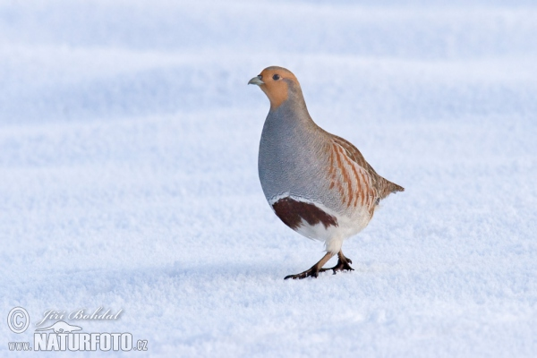 Grey Partridge (Perdix perdix)