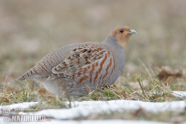 Grey Partridge Photos,...