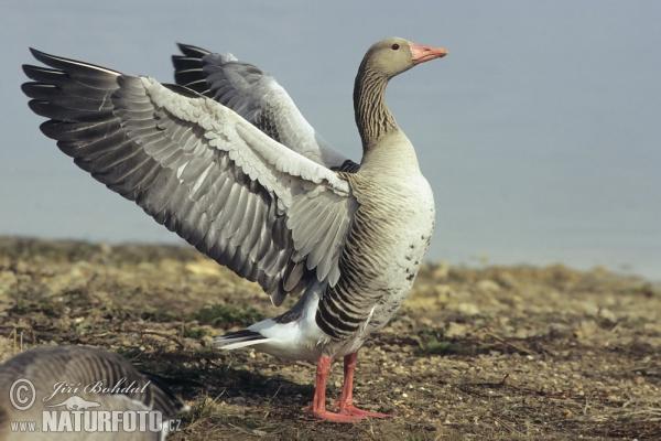 greyland-goose-3121.jpg