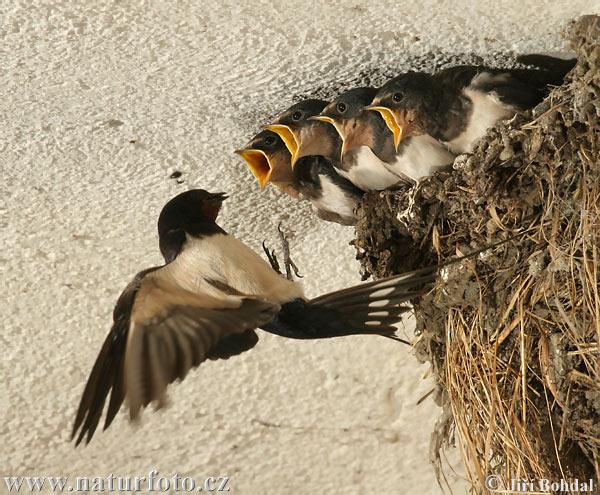http://www.naturephoto-cz.com/photos/birds/hirundo-rustica-29748.jpg