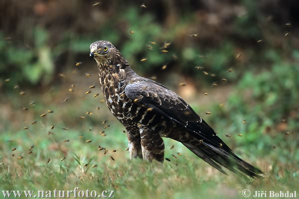 http://www.naturephoto-cz.com/photos/birds/honey-buzzard-1888.jpg