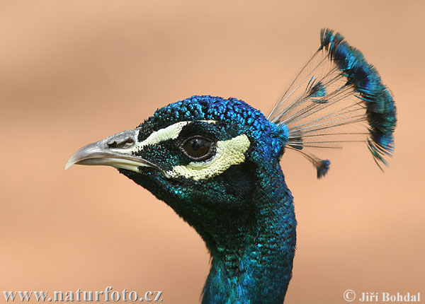 Indian Peafowl (Pavo cri