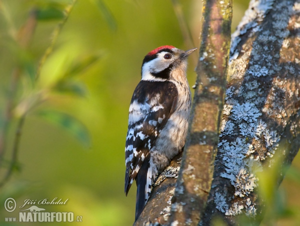 Lesser Spotted Woodpecker (Dendrocopos minor)
