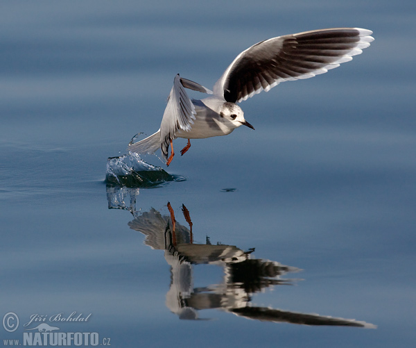 Little Gull (Hydrocoloeus minutus)