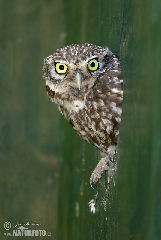 Little Owl Pictures, Little Owl Images  NaturePhoto