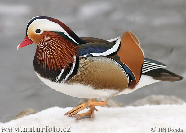 http://www.naturephoto-cz.com/photos/birds/mandarin-duck-20446.jpg