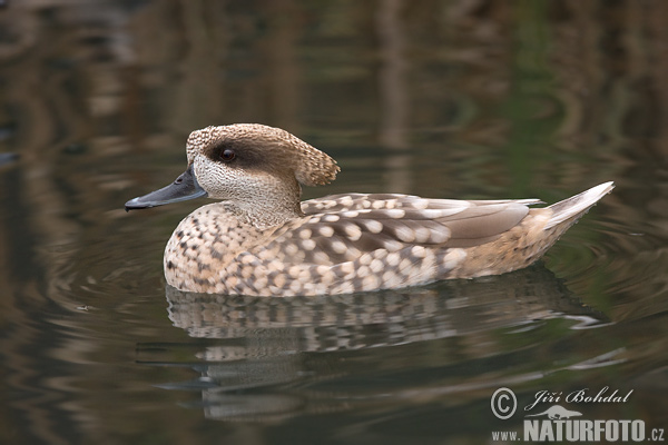Marbled Duck (Anas angustirostris)