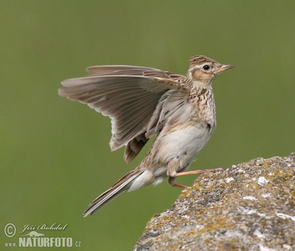 Mezei madarak