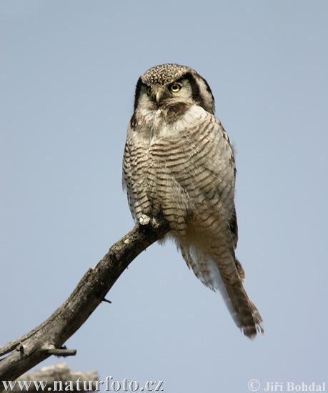 Buzón de Tino Väinämöinen. Northern-hawk-owl-1072