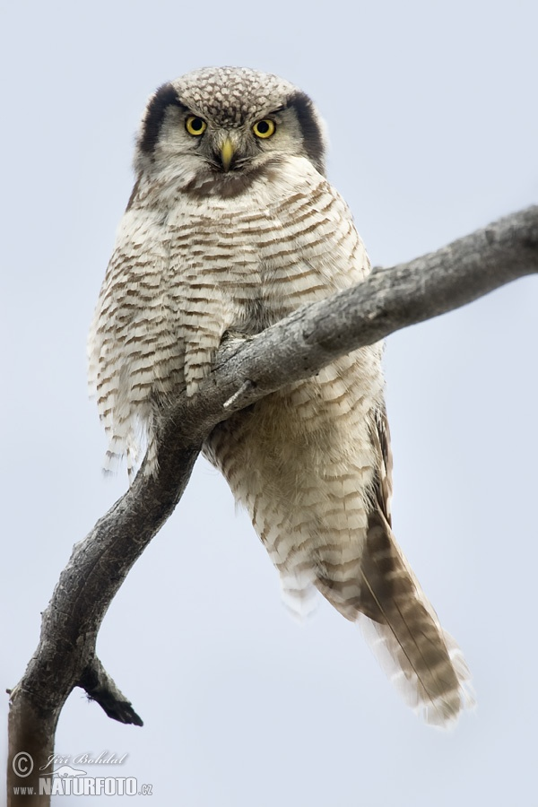 Northern Hawk-owl (Surnia ulula)